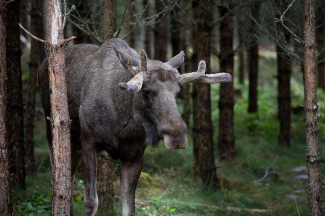 <b>Hier habe ich einige Bilder von Elchen in Schweden zusammengestellt. in freier Wildbahn und in einem Elchpark.</b><br />Von: Jens Freudenberg | Erstellt am: 14.08.2008 | 10 Bilder | 5287 x aufgerufen
